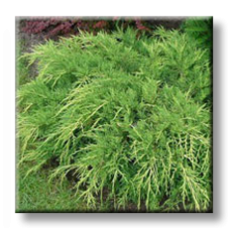 Юниперус / Juniperus media OLD GOLD