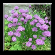 Сибирски лук / Allium schoenoprasum