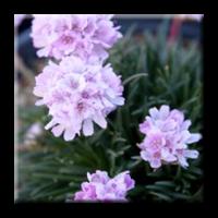 Армерия светло розова / Armeria maritima Rosea