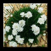 Армерия бяла / Armeria maritima alba