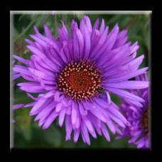Есенна Астра / Aster Purple Dome