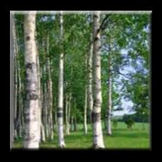 Бяла бреза / Betula pendula