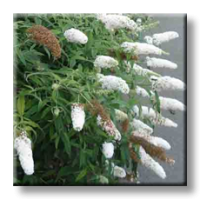 Будлея бяла, Летен люляк / Buddleia davidii White Profusion