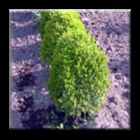 Чимшир (чемшир) / Buxus sempervirens