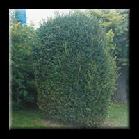 Чимшир дървовиден / Buxus sempervirens arboviscus