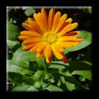 Невен / Calendula officinalis