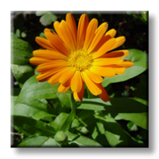 Невен / Calendula officinalis