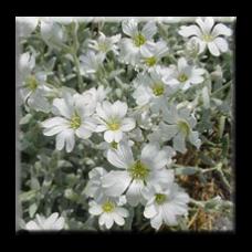 Церастиум, Рожец  / Cerastium tomentosum