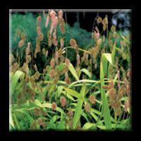 Шасмантиум, Хасмантиум / Chasmanthium latifolium