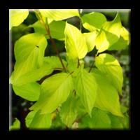 Сибирски дрян жълтолистен / Cornus alba Aurea