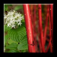 Сибирски дрян / Cornus alba Sibirica