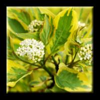 Сибирски дрян - жълто-зелен / Cornus alba Spaethii