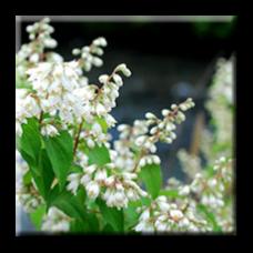 Дойция бяла / Deutzia spp