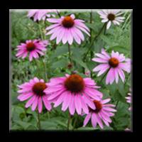 Ехинацея / Echinacea purpurea