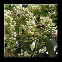 Еводия, дървото на пчеларя / Euodia daniellii