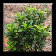 Микрофила Зелена / Euonymus japonicus Microphila green