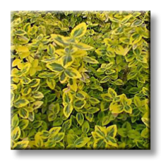 Радиканс жълто-зелен / Euonymus fortunei 'Emerald 'n Gold'