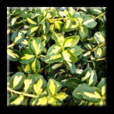 Радиканс Блонди / Euonymus fortunei Blondy