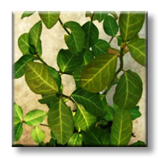 Евонимус фортунеи / Euonymus fortunei Coloratus