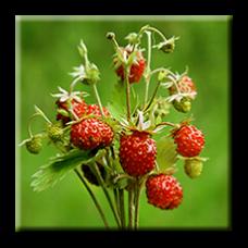 Ягода горска / Fragaria vesca L.