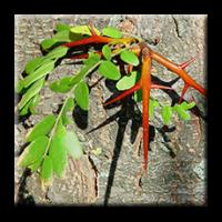 Гледичия / Gleditsia triacantha L.