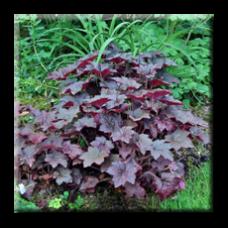 Хойхера Червенолистна / Heuchera micrantha Palace Purple