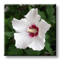 Хибискус градински - бял, дървовидна ружа / Hibiscus