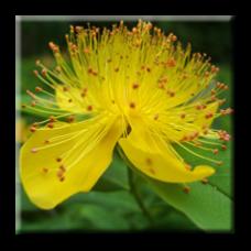 Хиперикум / Hypericum calycinum
