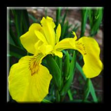Блатен ирис / Iris pseudoacorus