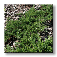 Юниперус / Juniperus horizontalis Prince of Welsh