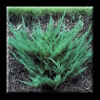 Юниперус / Juniperus horizontalis Plumosa