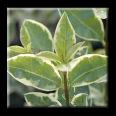 Лигуструм бяло-зелен / Ligustrum ovalifolium Argenteum