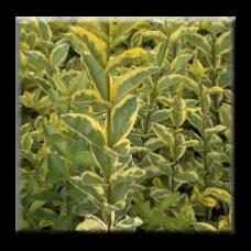 Лигуструм жълто-зелен / Ligustrum ovalifolium Aureum