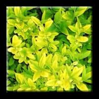 Лигуструм жълтолистен / Ligustrum vulgare aureum