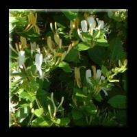 Лоницера японика / Lonicera japonica