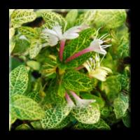 Лоницера пъстролистна / Lonicera japonica Aureo Reticulata