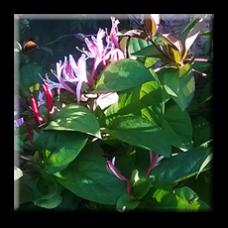 Лоницера японика / Lonicera japonica Purpurea