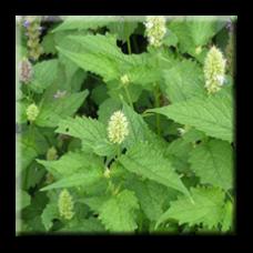 Лофант / Lophanthus Anisatus Benth