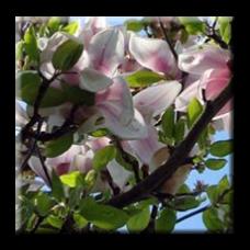 Японска магнолия / Magnolia kobus
