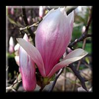 Суланжова магнолия / Magnolia soulangeana