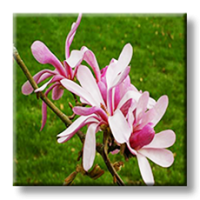 Магнолия хибридна 'Leonard Messel' / Magnolia Loebneri 'Leonard Messel'