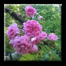 Мини роза - розова, катерлива / Mini rose