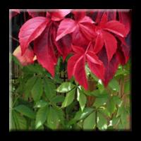 Дива лоза / Parthenocissus quinquefolia