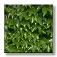 Дива лоза / Parthenocissus tricuspidata