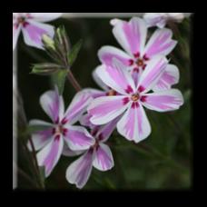 Флокс стелещ шарен / Phlox subulata Candy Stripe