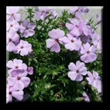 Флокс стелещ светло лилав / Phlox subulata