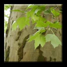 Яворолистен чинар / Platanus x acerifolia