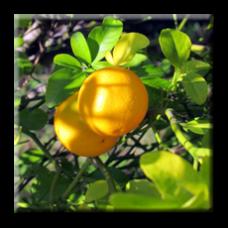Див лимон / Poncirus trifoliata