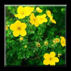 Потентила очиболец / Potentilla fruticosa
