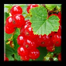Червено френско грозде / Ribes rubrum